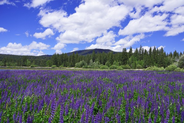 A Sea of Lupine
