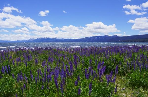 Lake Tahoe Lupine