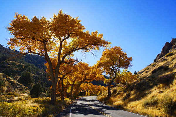 Autumn Cottonwoods