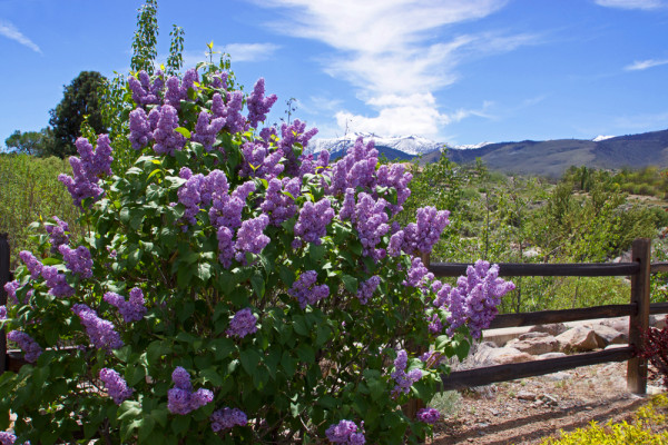 Springtime Lilacs